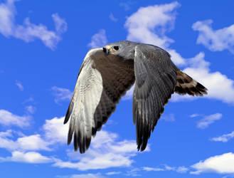 Gray Hawk 1 by Mammoth-Hunter