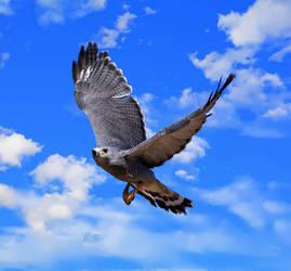 Gray Hawk 2 by Mammoth-Hunter
