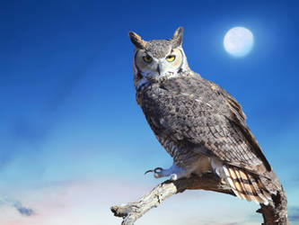 Great Horned Owl 2.3 by Mammoth-Hunter