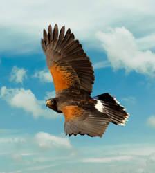 Harris's Hawk 3 by Mammoth-Hunter