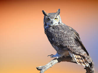Great Horned Owl 3 by Mammoth-Hunter