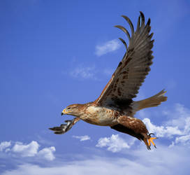Ferruginous hawk 1 by Mammoth-Hunter