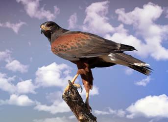 Harris's Hawk 4 by Mammoth-Hunter
