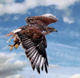 Ferruginous hawk 2 by Mammoth-Hunter