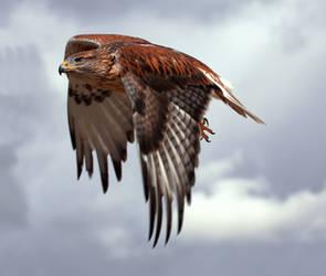 Ferruginous Hawk 3 by Mammoth-Hunter