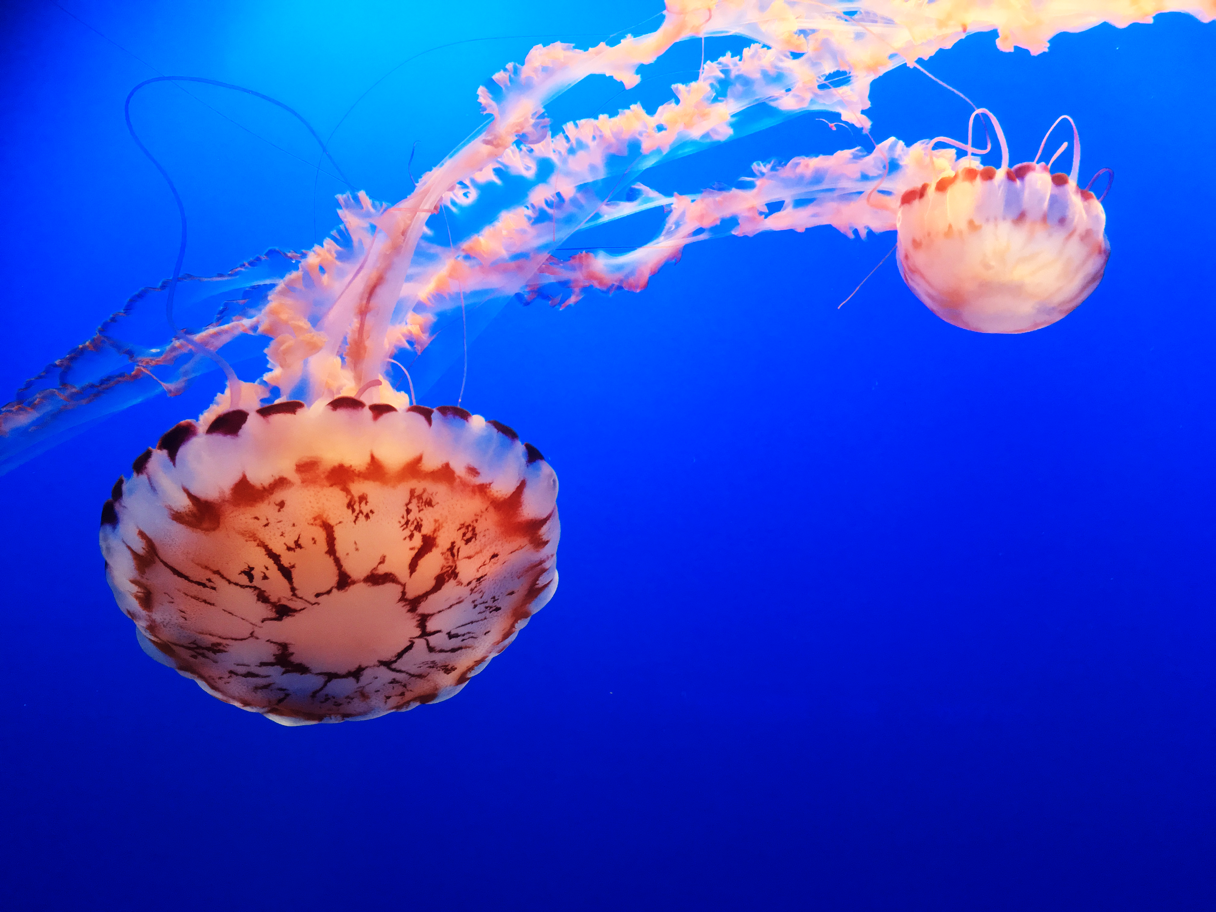 jellyfish_4_by_yellowicous_stock-db0li2g