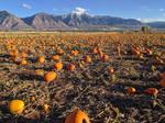 pumpkin patch 6