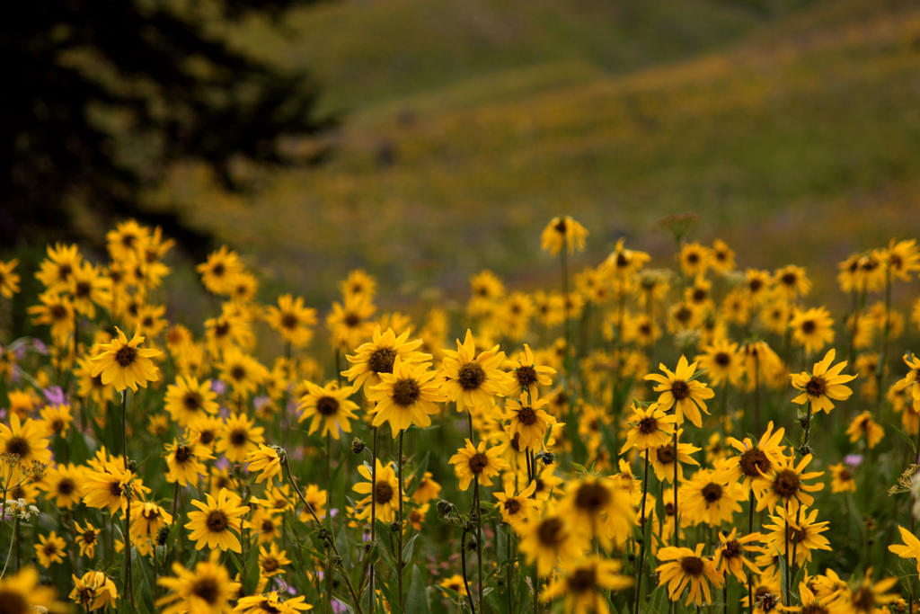Sunflower Meadows by pengirl389265