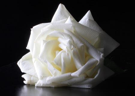 white rose by pulp-vixen