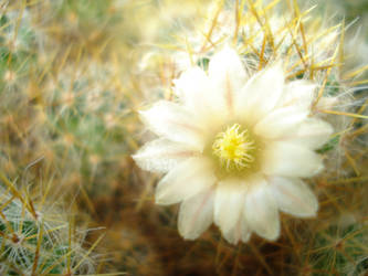 cactus flower by jurrga