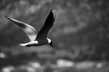 Seagull over Ioannina lake by GlueR