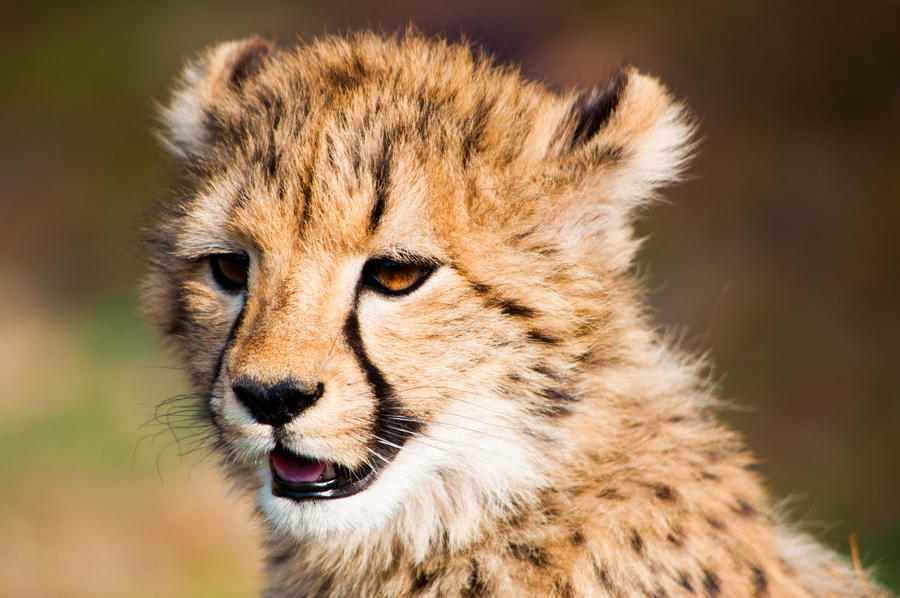 Baby cheetah 2 by GlueR