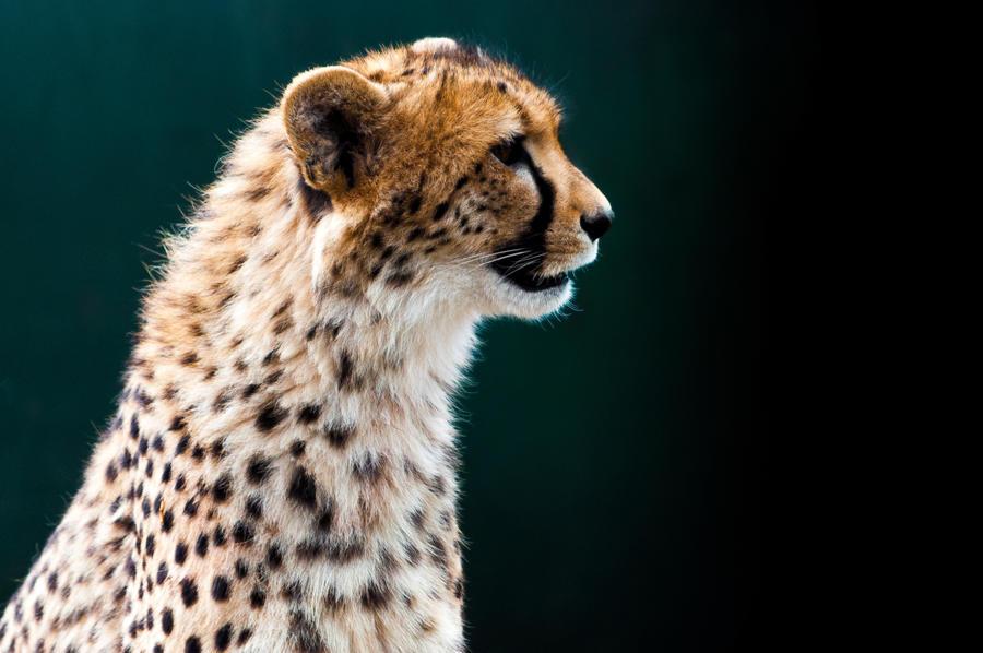 Cheetah by GlueR