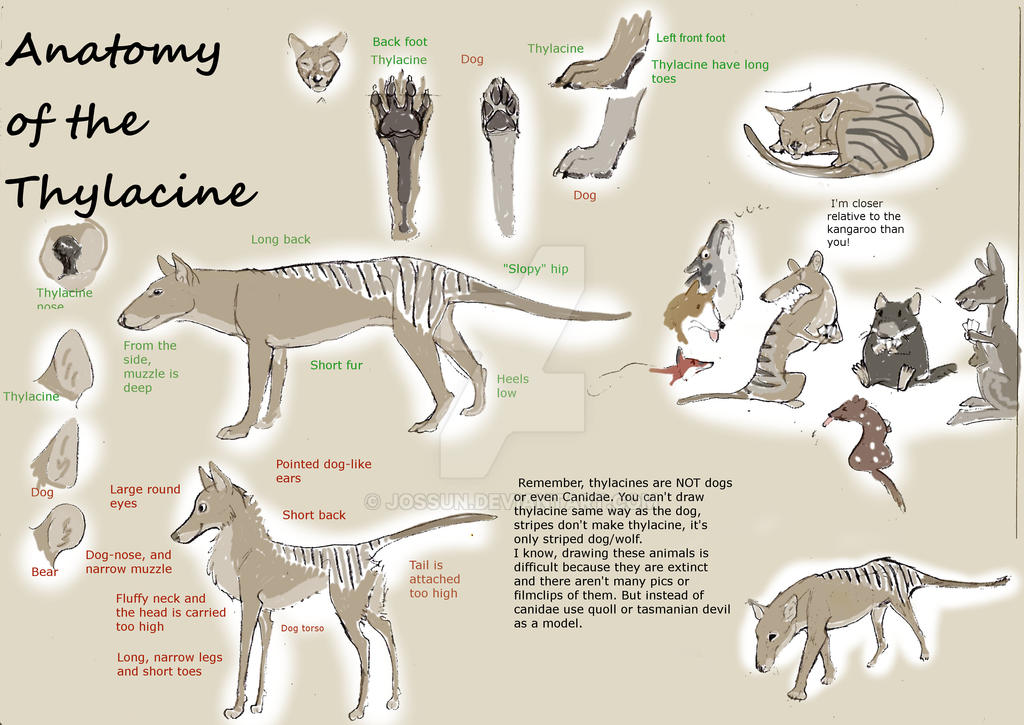 Anatomy of Thylacine, marsupial predator ISN\'T dog by Jossun on ...