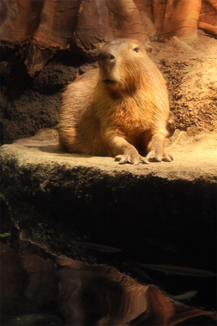 Capybara by Risachantag