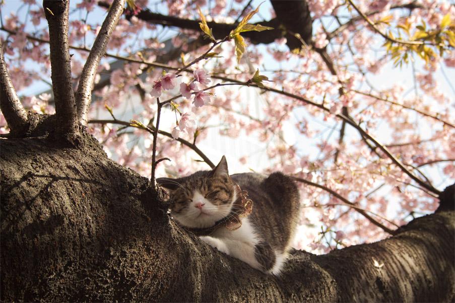 Sakura Cat by Risachantag