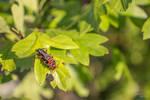 Rustic Sailor Beetles