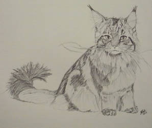 Speed Drawing of cat : Maine Coon