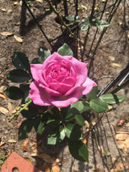 First rose bloom of season by Micky1966