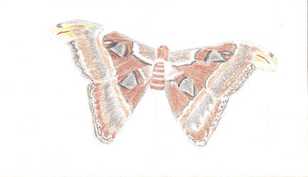 Atlas Moth WIP 8-11-13 001