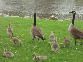 Wild Geese Family