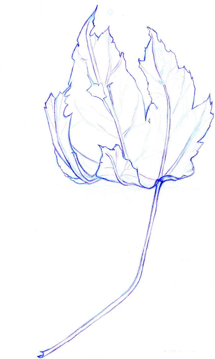 Contour Line Drawing Leaf : Contour line leaf by alexwhlr on deviantart