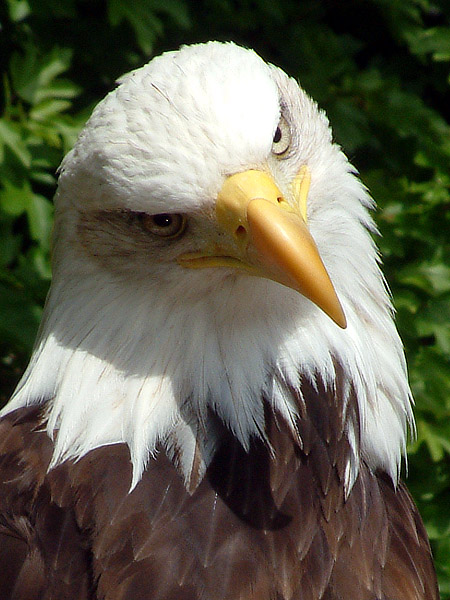 Bald Eagle by MrTim