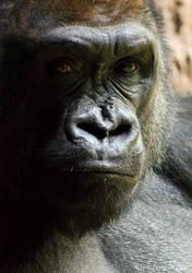 Gorilla by MrTim