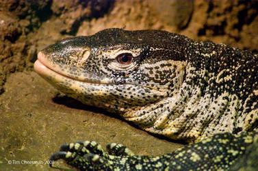 Lace Monitor Lizard by MrTim