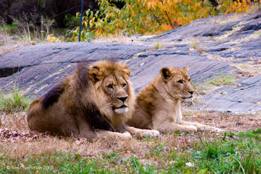 Lion and Lioness 1 by MrTim