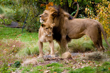 Lion and Lioness 2 by MrTim