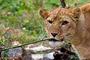 Lioness by MrTim