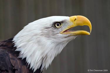 Bald Eagle 5 by MrTim