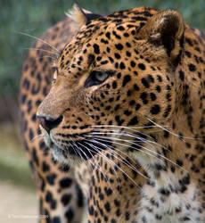 Sri Lanka Leopard by MrTim