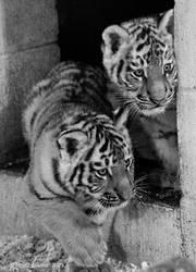 Siberian Tiger cub 2 by MrTim