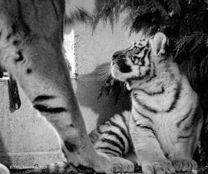 Siberian Tiger cub 3 by MrTim