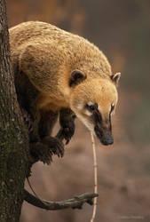 interested coati by Drezdany