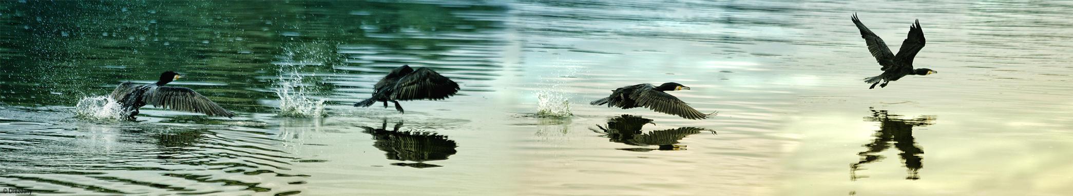Great Cormorant in flight by Drezdany