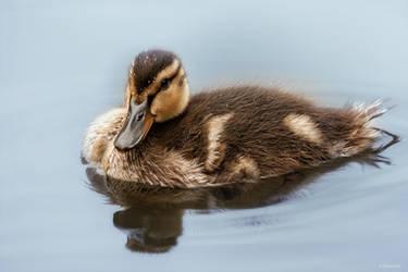 little duck by Drezdany