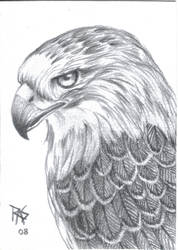 Red Tailed Hawk Graphite by robertsloan2