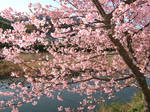 Sakura and River