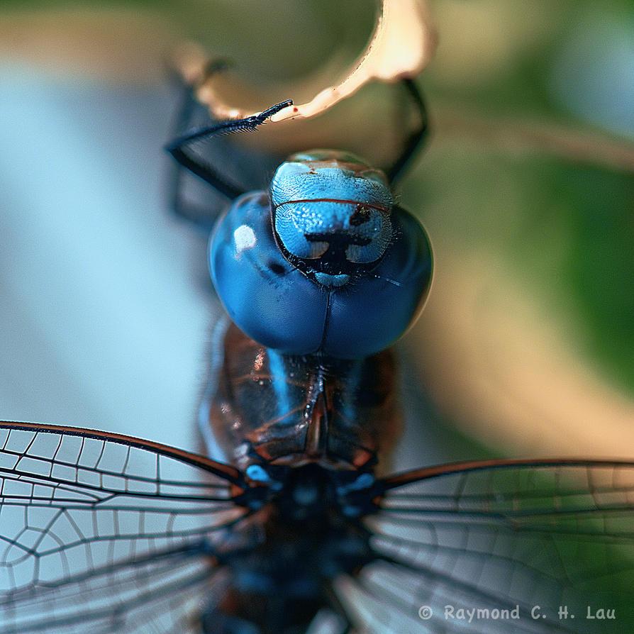 Big blue eyes by Raylau