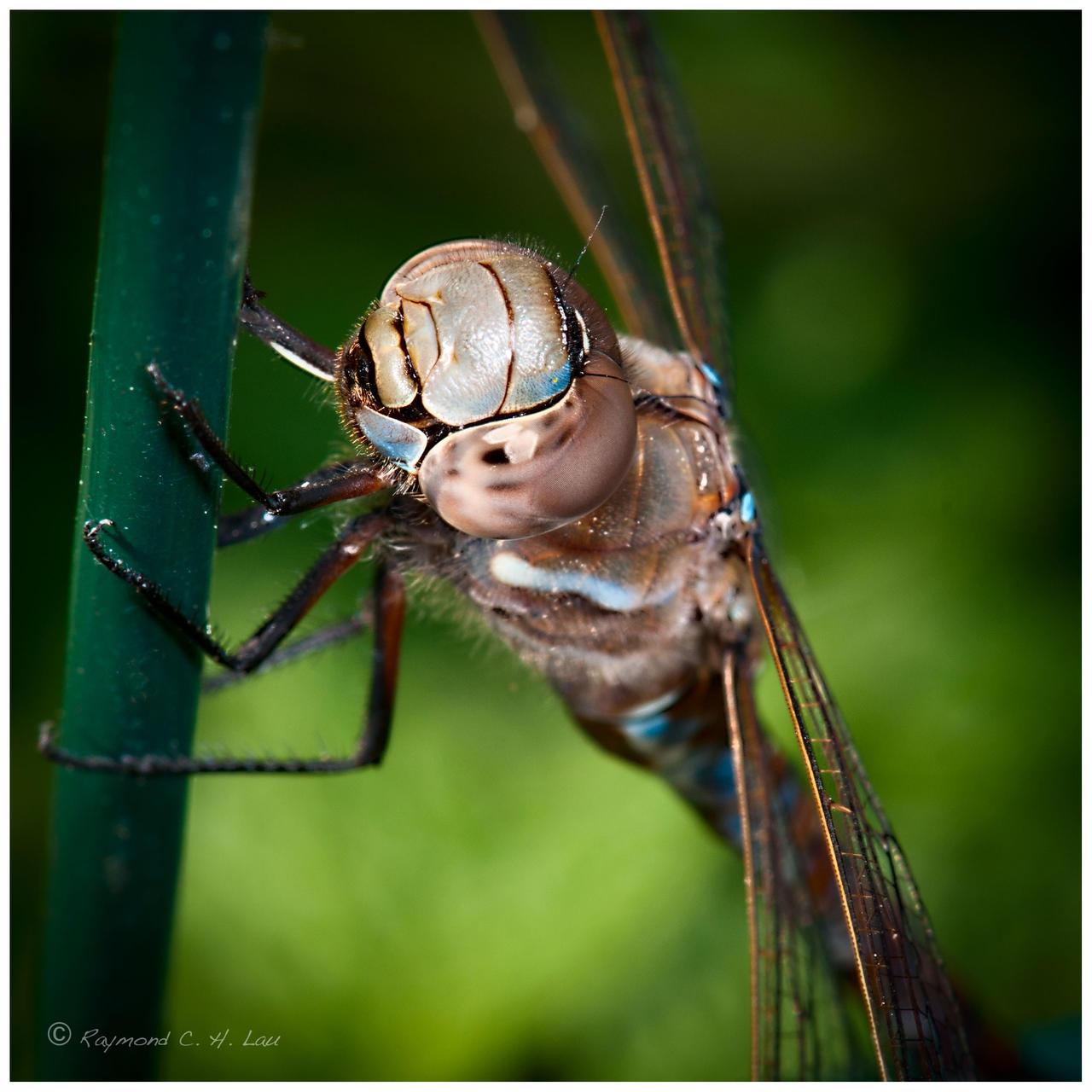 Dragonfly by Raylau