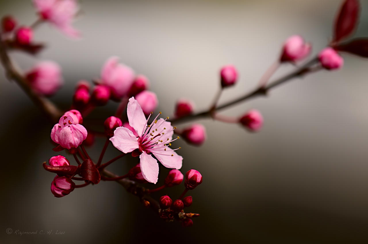 cherry blossom by Raylau