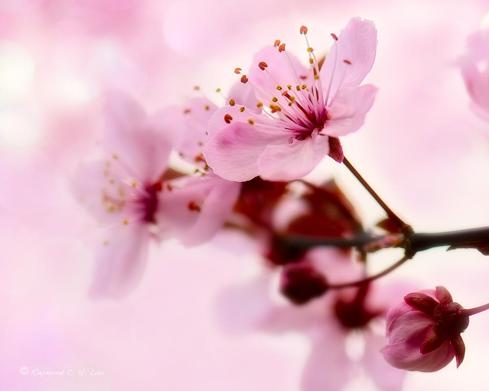 Cherry Blossom 2 by Raylau