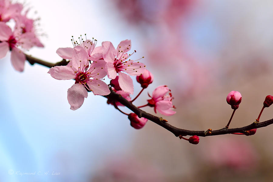 Quotes about cherry blossoms quotesgram Cherry blossom pictures