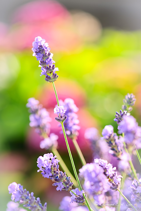 Lavender by Raylau