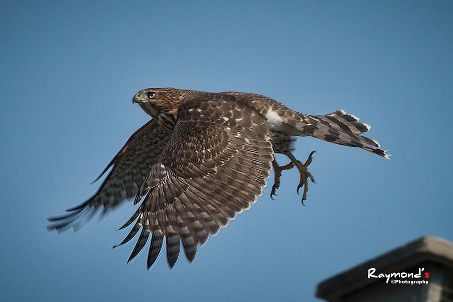 Cooper's Hawk by Raylau