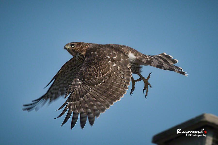 Cooper's Hawk by Raylau