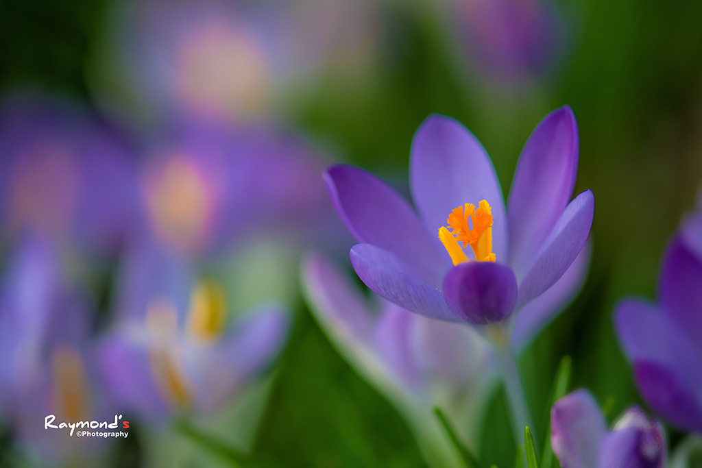 Spring Flower by Raylau